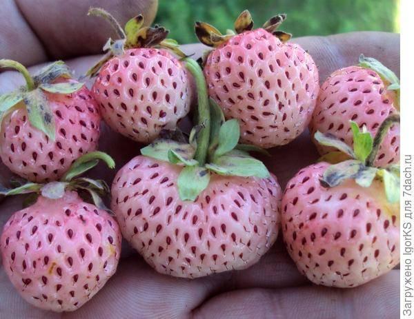 Белоплодная садовая земляника со вкусом ананаса: описание сорта, характеристики, особенности выращивания