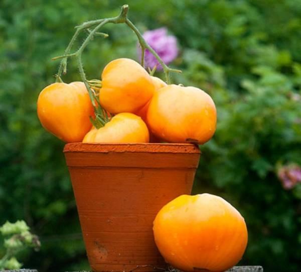 Томат чибис — описание сорта, отзывы, урожайность