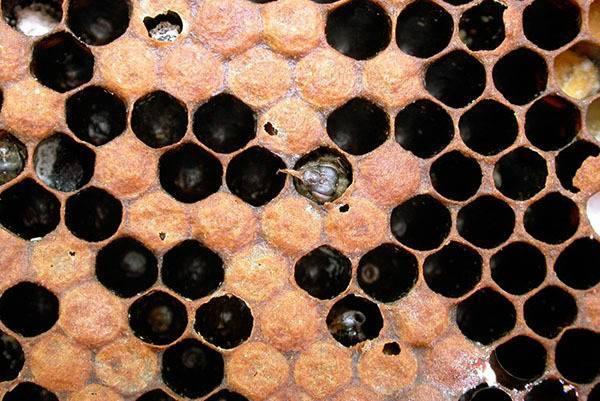 Акарапидоз пчёл