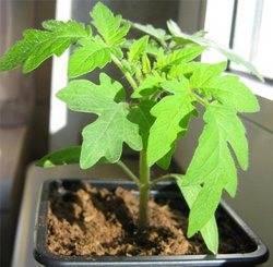 Сохнут листья у рассады помидоров: почему, что делать