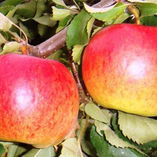 Особенности яблони жигулевское