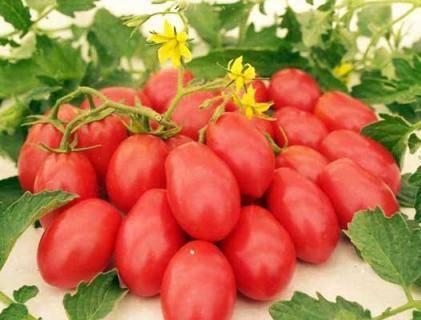 """Томат """"сибирская тройка"""": характеристика и описание сорта, урожайность, рекомендации по выращиванию, фото помидор"""