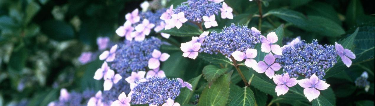 Чем отличаются метельчатые гортензии от древовидных и крупнолистных, что лучше