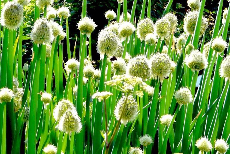 Лук батун: описание, посадка, выращивание и уход