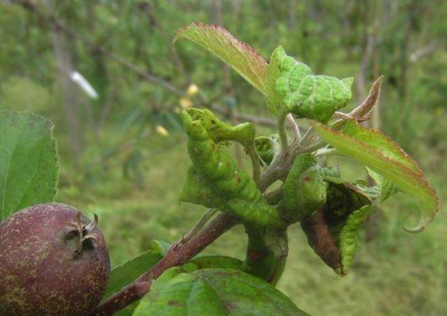 Листья груши закручиваются в трубочку: что за болезнь, как её лечить