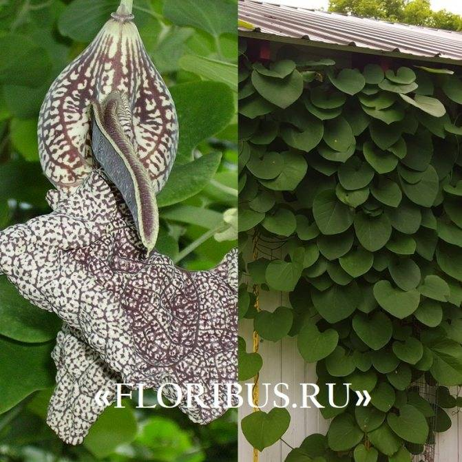 Кирказон - фото лианы, описание, уход, выращивание