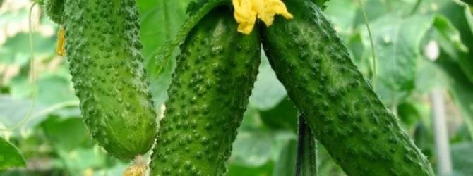 Огурец гектор f1: описание, правила выращивания, сроки и правила посадки, особенности агротехники, отзывы
