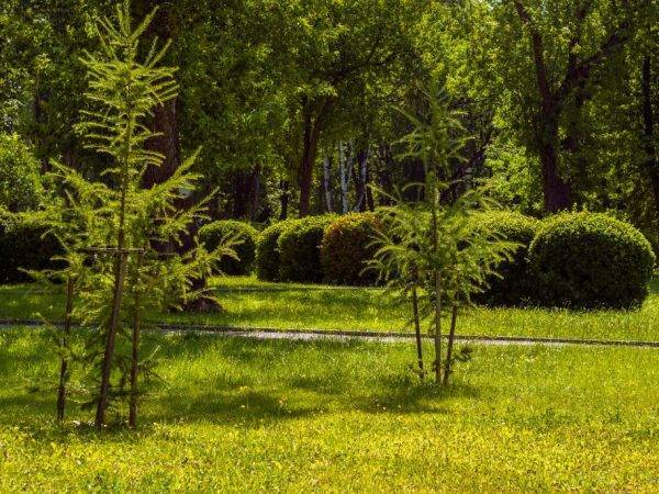 Лиственница гмелина — википедия. что такое лиственница гмелина