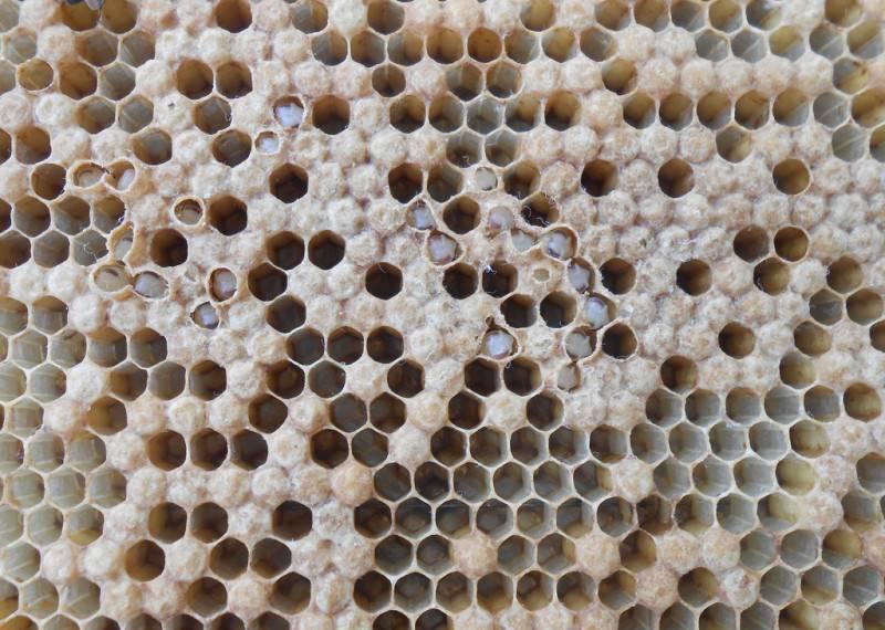 Аскосфероз пчел - характерные признаки и лечение известкового расплода