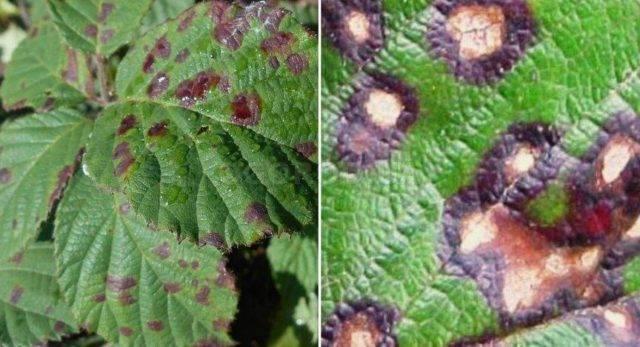 У смородины скручиваются листья чем обработать — что делать в первую очередь и поиск причины проблемы (115 фото)