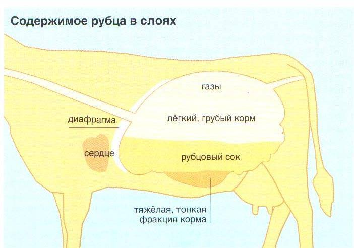 Причины, симптомы, диагностика и лечение ацидоза рубца у коров. доврачебная помощь
