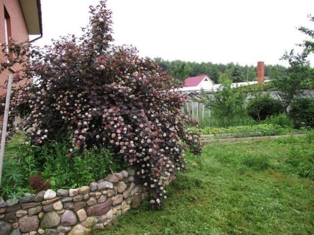 Красавец пузыреплодник: выращивание и уход