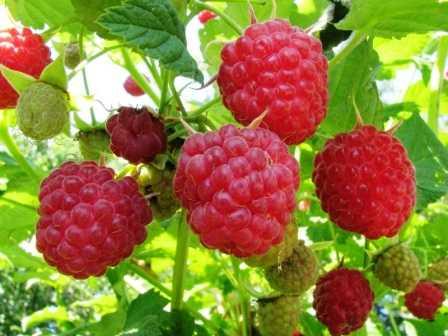 Малина сорта патриция: характеристика, особенности агротехники