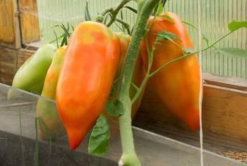 Необычный томат с сочной мякотью и отличными вкусовыми качествами – «корнабель f1»