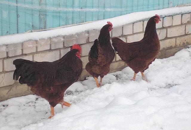 Род-айленд – популярная мясо-яичная порода кур