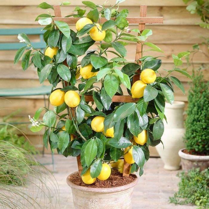 Лимон это ягода или фрукт