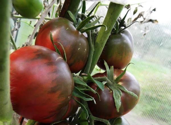 Томат черный принц - описание, характеристика, фото, выращивание