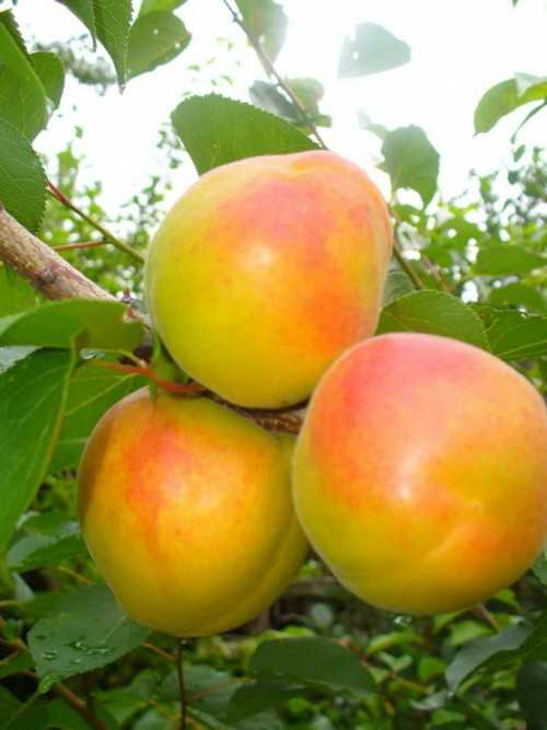 Лучшие сорта абрикосов для дачи: ранние, среднеспелые, поздние, описание, преимущества, критерии выбора