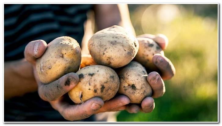Картофель сынок описание сорта фото отзывы