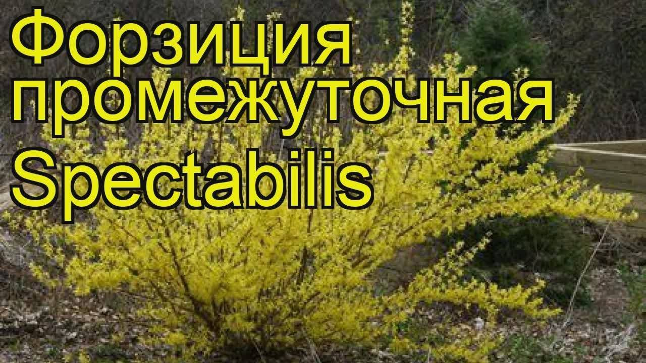 Форзиция – солнце в вашем саду. посадка, уход, размножение. видео и фото