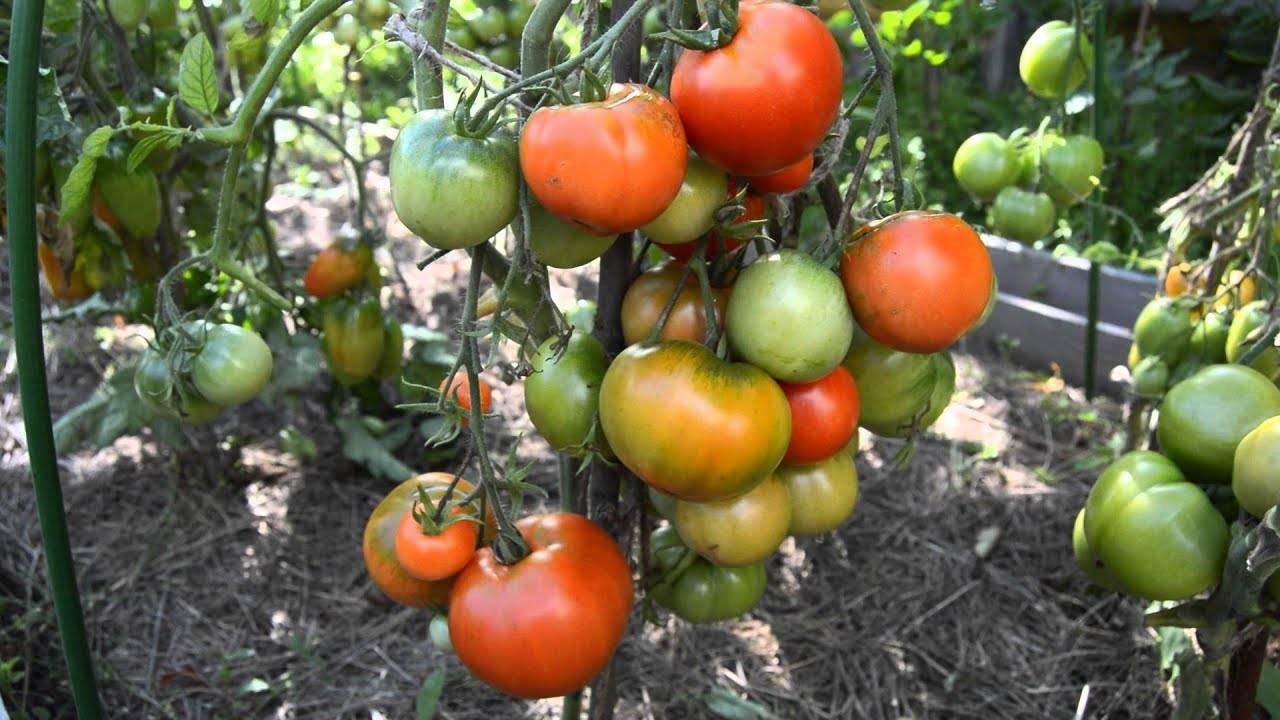 """Томат """"дубрава"""": характеристика и описание сорта помидор """"дубок"""", выращивание в открытом грунте, правила ухода, фото плодов"""