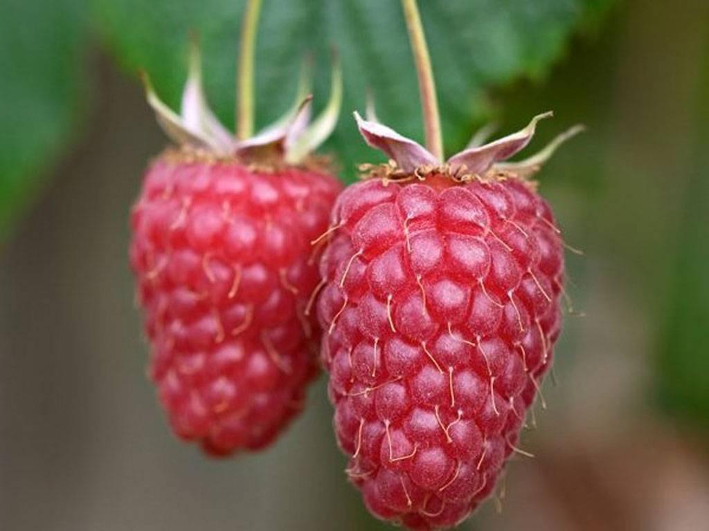 Малина геракл: отзывы садоводов, описание сорта и правила выращивания