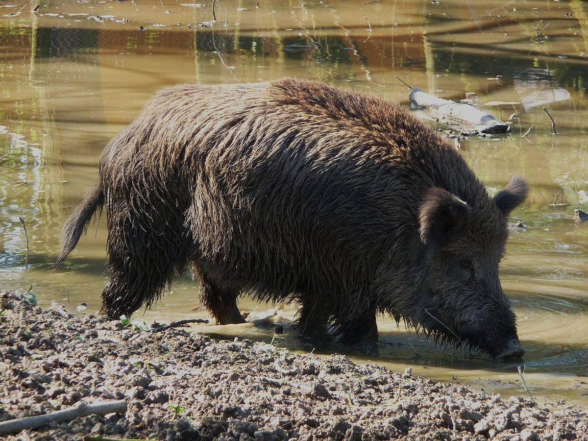 Кастрация поросят и взрослых свиней