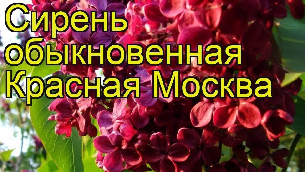 Сирень красная москва: особенности сорта, советы по посадке и уходу
