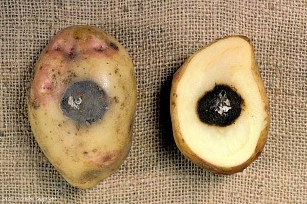 Картофель темнеет при варке что делать. почему синеет картошка после варки
