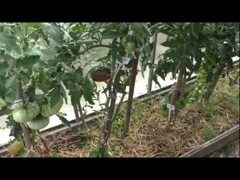 Черные помидоры: лучшие сорта, отзывы и фото
