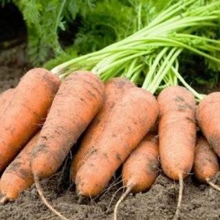 Неприхотливый и урожайный сорт моркови «алтайская лакомка» — лучший выбор для дачников