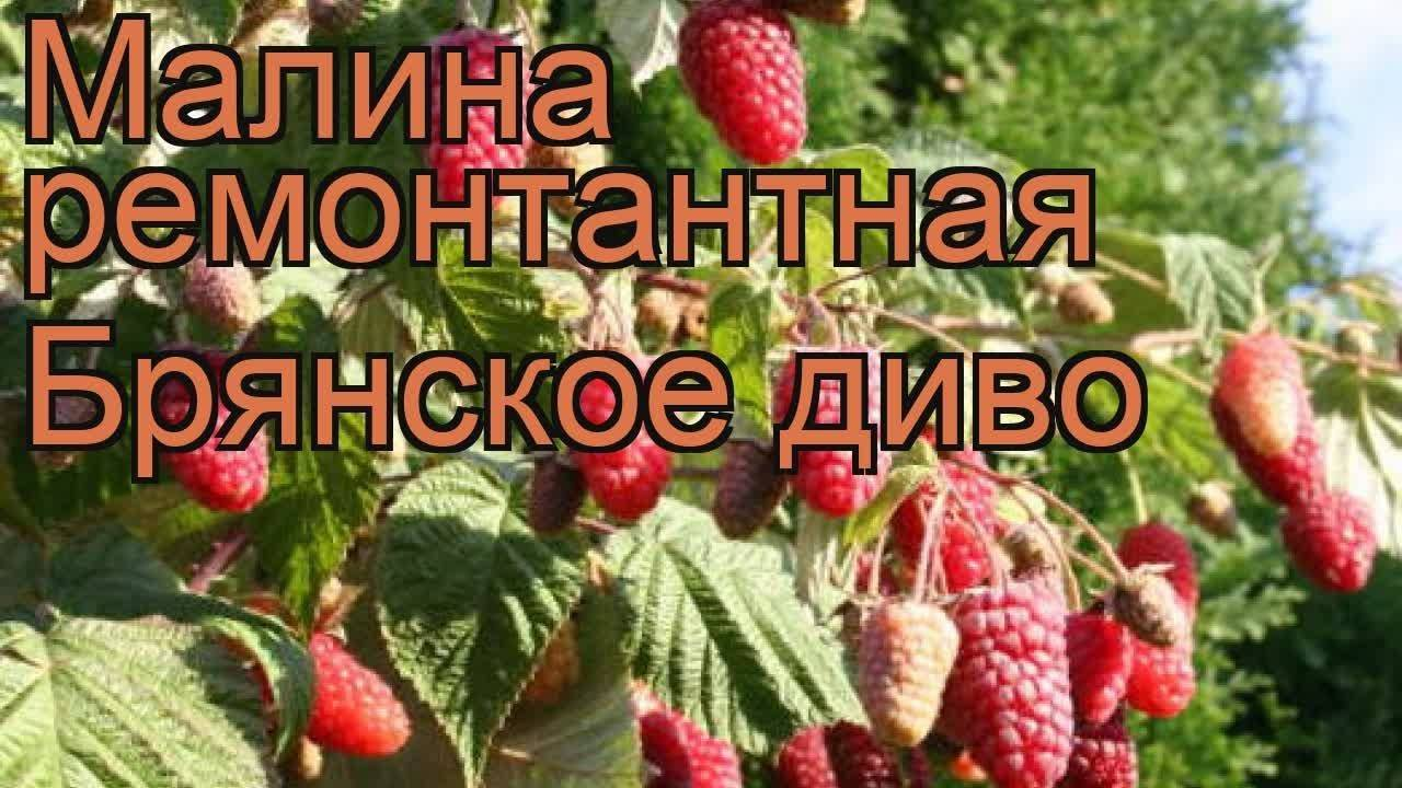 Ремонтантный сорт малины брянское диво