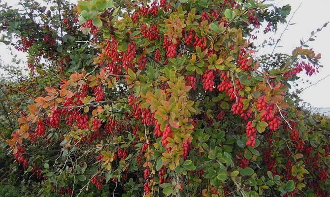 Барбарис кустарник — виды, сорта, посадка и уход