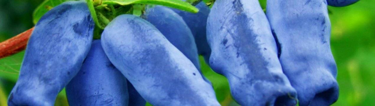 Характеристика и особенности выращивания жимолости сорта синичка