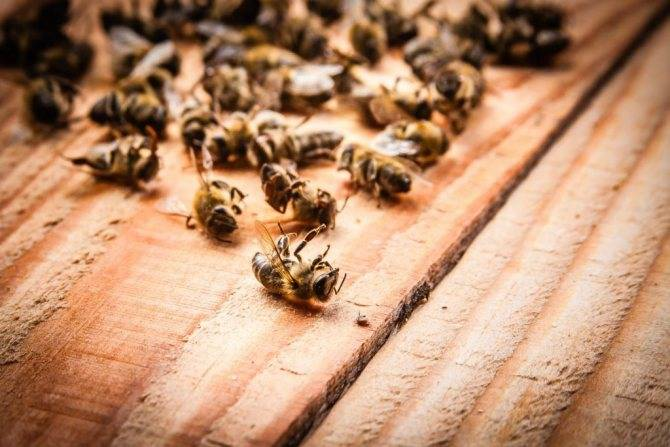 Лечебная настойка на спирту и водке из подмора пчелиного. от чего помогает настой из мертвых пчел?
