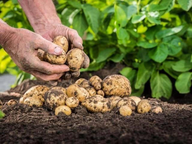 Картофель рамона: описание сорта, урожайность и вкусовые качества
