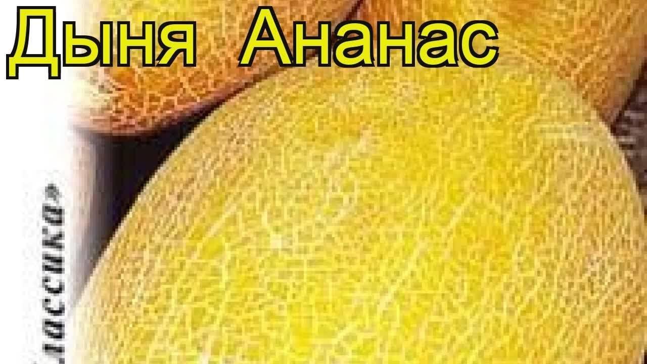Дыня ананасная выращивание. дыня ананасная