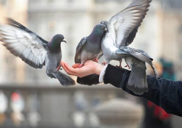 Болезни голубей и их лечение: какие инфекции переносит больная птица