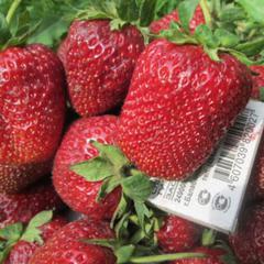 Садовая земляника «викода»: пикантный вкус, крупный размер, богатый урожай