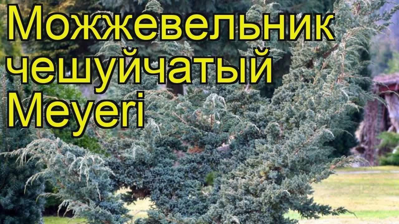Можжевельник чешуйчатый мейери: посадка и уход