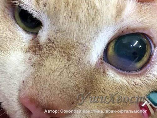 Причины появления бельма на глазах у кошек: принципы лечения дома