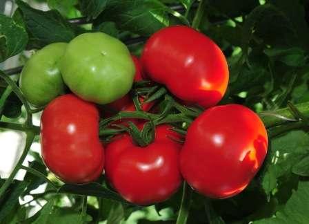 Фото, отзывы, описание, характеристика, урожайность гибрида томата «благовест f1»