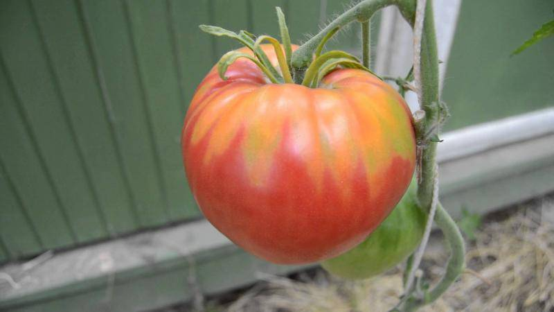Необычный сорт томат «розовый фламинго»: характеристика и описание, особенности выращивания