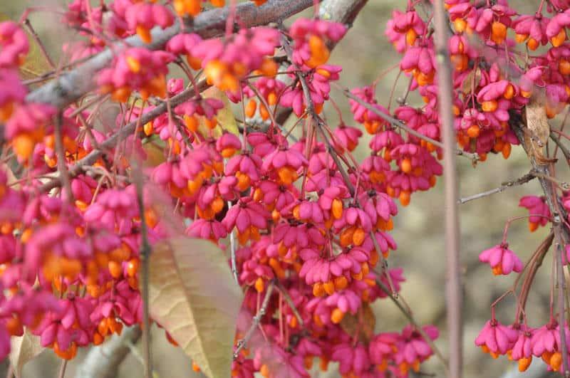 Бересклет – посадка и уход в открытом грунте: условия выращивания