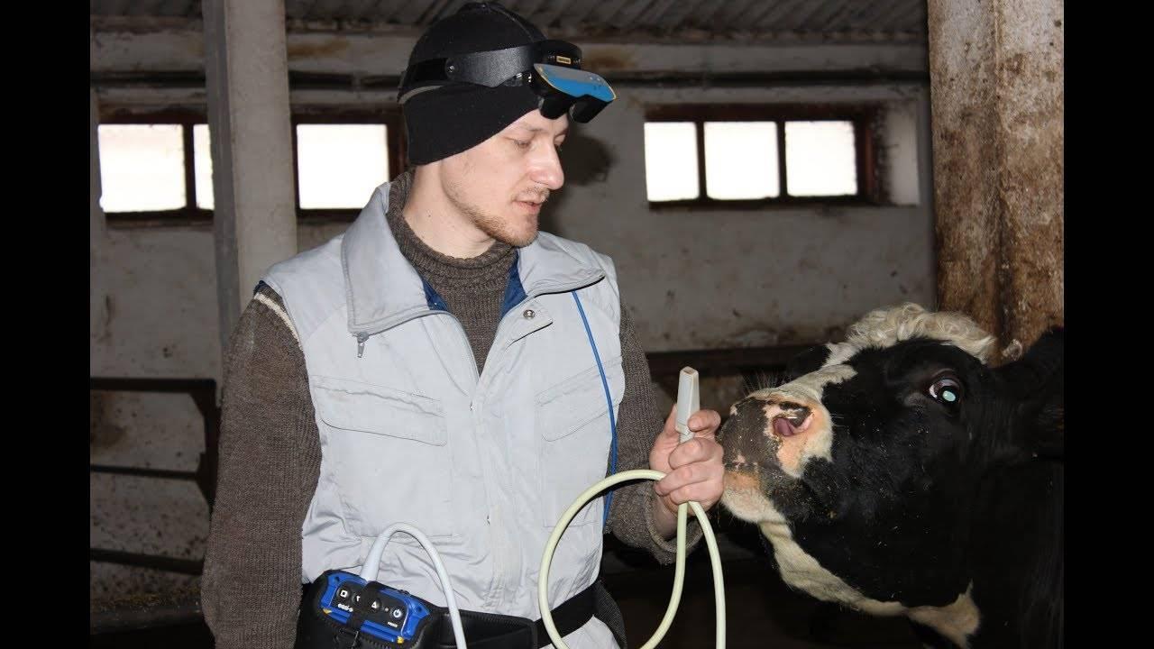 Способы лечения тимпании рубца у коровы