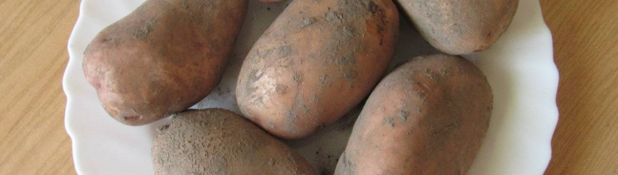 Картофель «славянка»: описание и особенности выращивания
