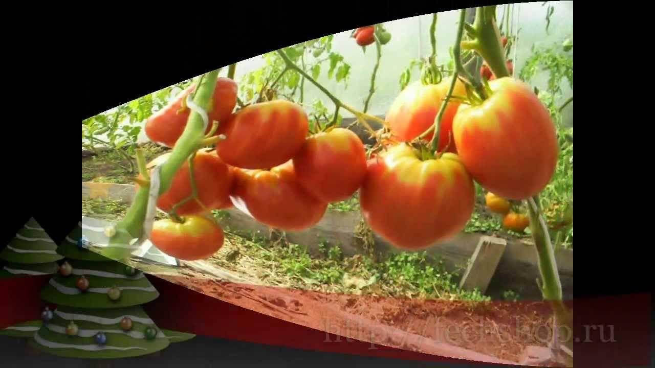Описание сорта томата любимый праздник, его урожайность