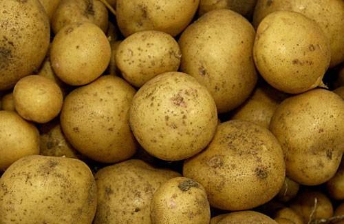 Описание, выращивание и характеристика картофеля сорта ривьера