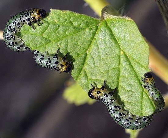 Гусеницы на крыжовнике объели листья: как бороться народными средствами и препаратами