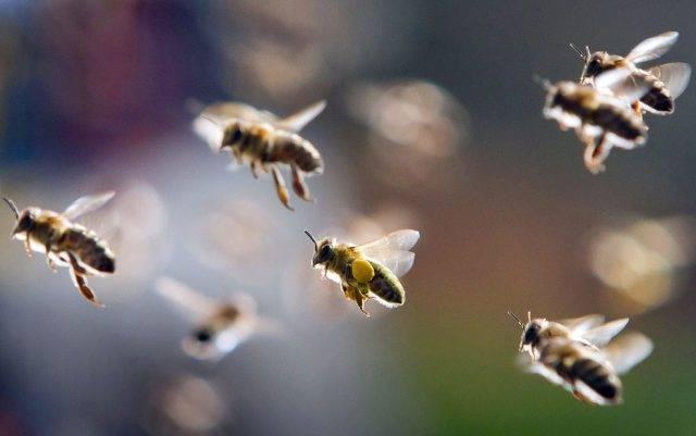 Для всех — познавательная информация о пчелах и собираемом ими меде. пчела: интересные факты о пчелах. дикие и домашние пчелы